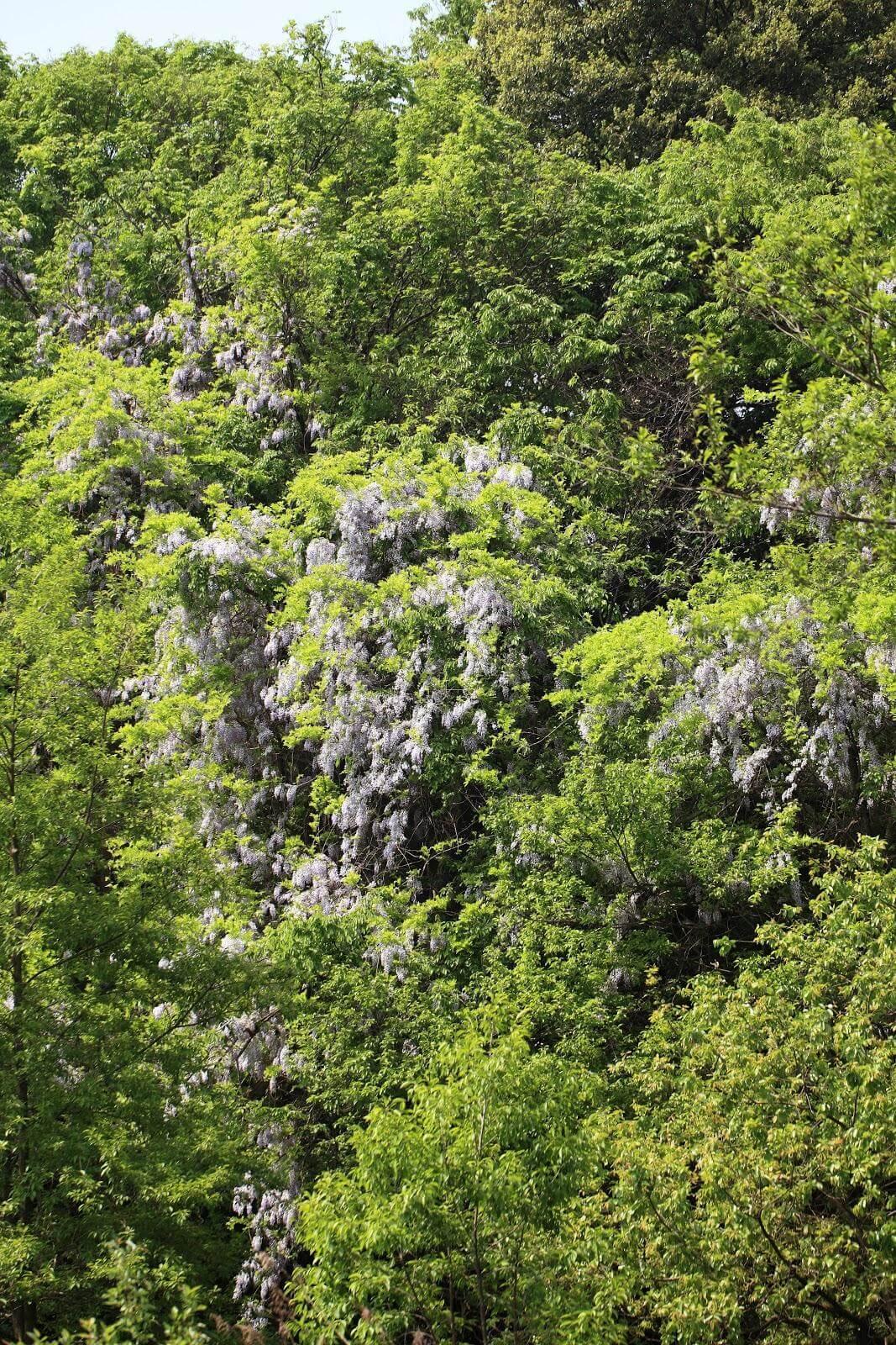 野生の藤の木