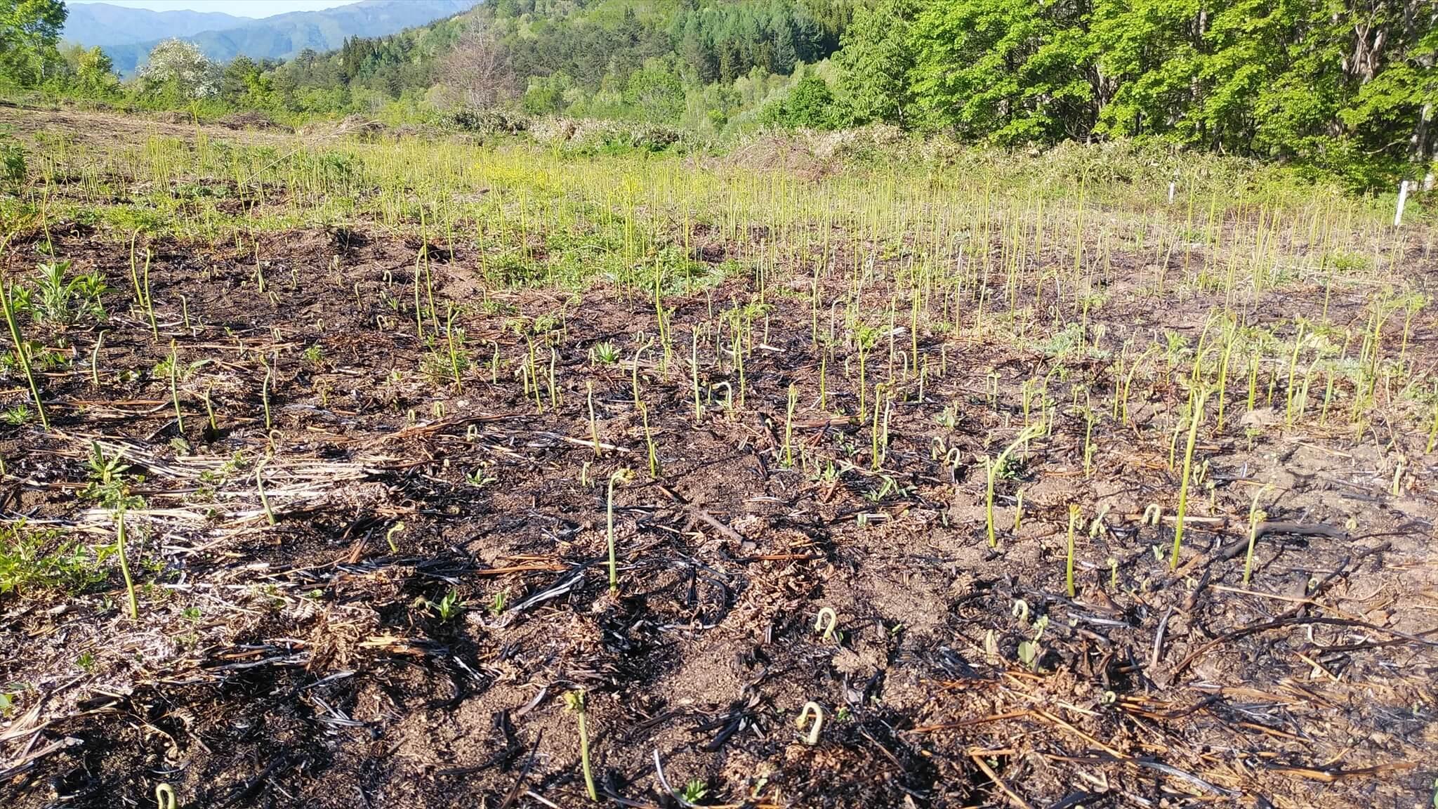 野焼き後、芽を伸ばし始めたワラビ