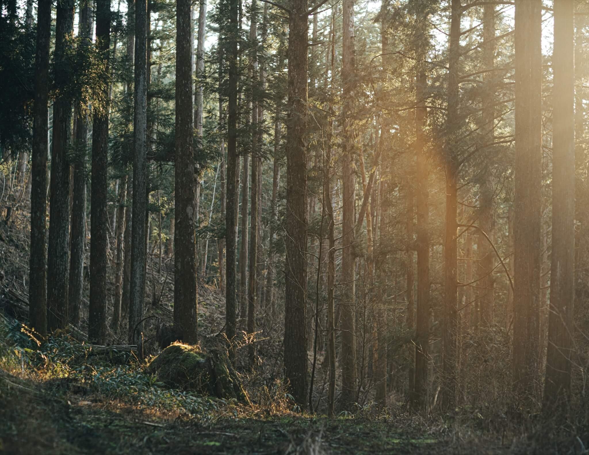 根羽村の森林内。夕陽が差し込む