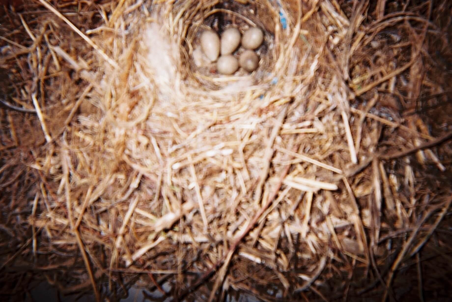 ハクセキレイの卵