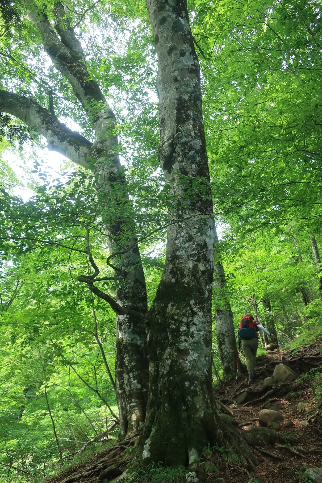 都民の森にある立派なブナの木