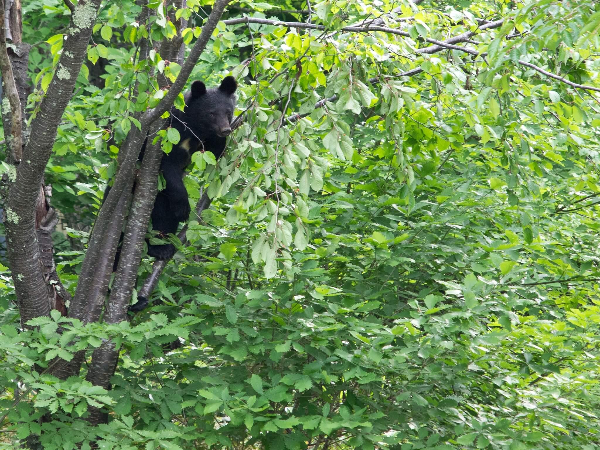 木に登るクマ