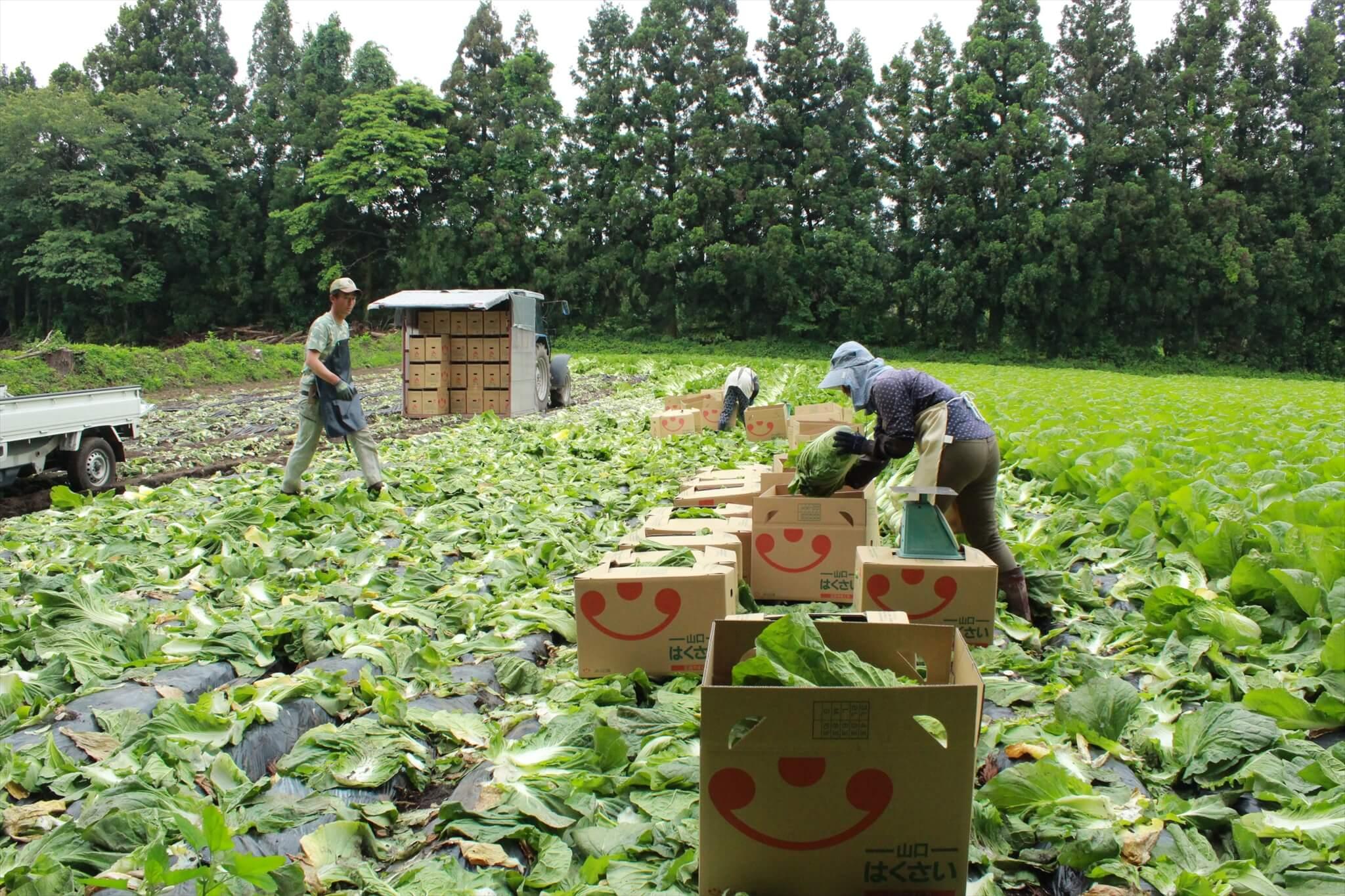 阿武町の農家・白松家が白菜を収穫する様子