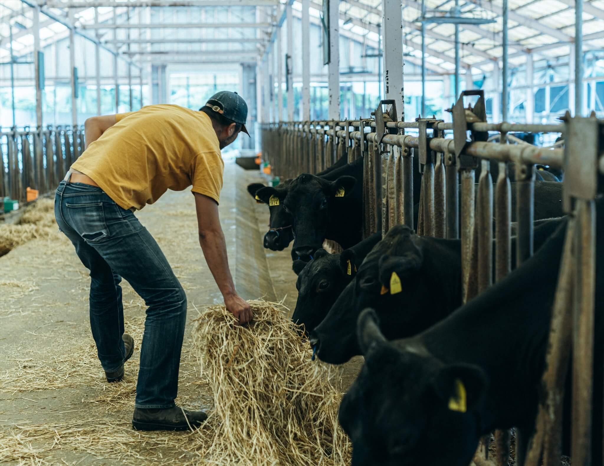 阿武町で大正時代から飼育されてきた「無角和牛」。和牛の4品種(黒毛和種・褐毛和種・日本短角種・無角和種)の一つで、全国に約200頭いるうちの約150頭が阿武町で育てられている