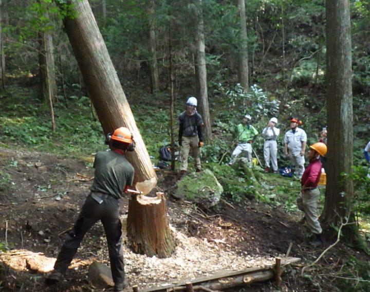 morinosのV字柱に使われた木の伐採の様子。岐阜県立森林文化アカデミーの学生たちが演習林で伐採